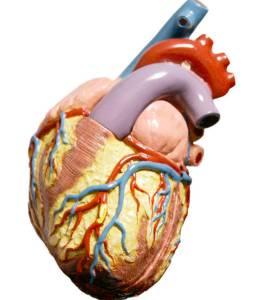 Maqueta dun corazón humano.